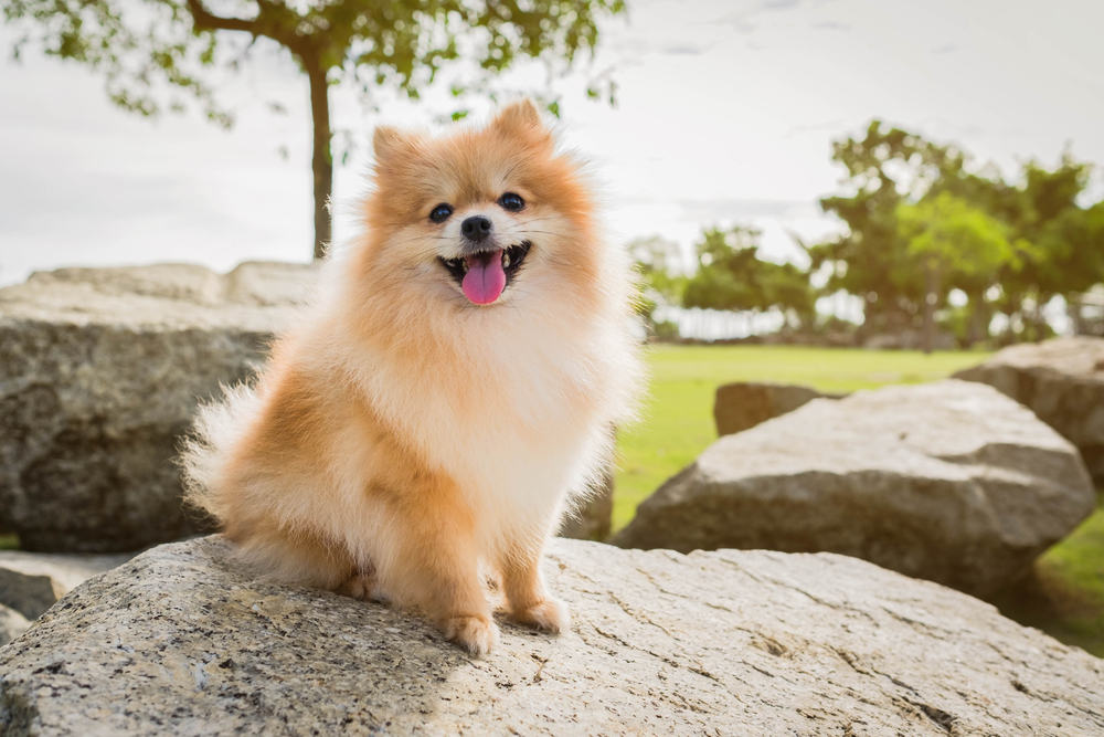 Pomeranian Dog Breed Info Health Advice Everypaw