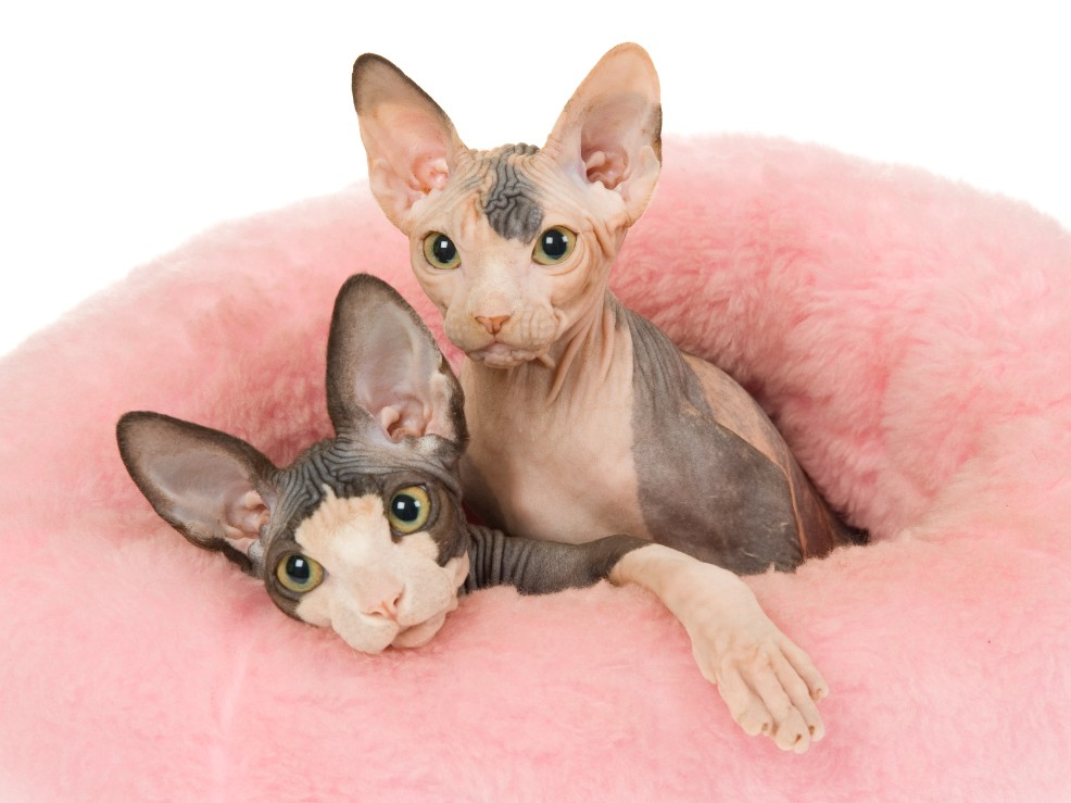 Sphynx cat breed info & health advice | Everypaw