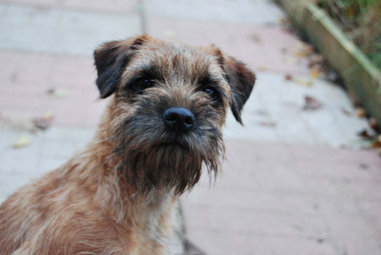 Border Terrier staring at the camera