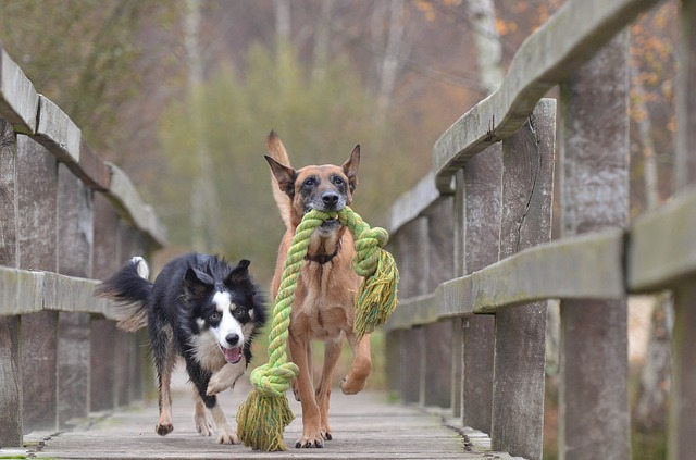 malinois & border collie
